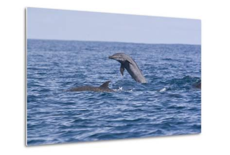 Pacific Spotted Dolphins, Stenella Attenuata, Swim Off the Coast of Costa Rica-Gabby Salazar-Metal Print