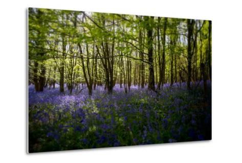Bluebells in Woods-Rory Garforth-Metal Print