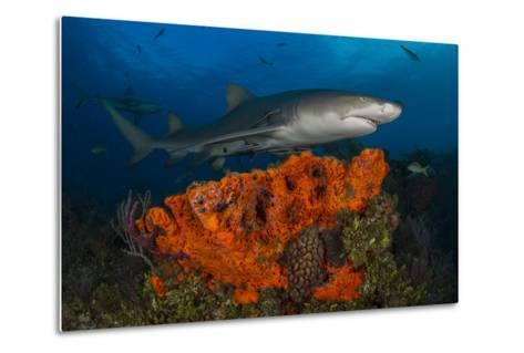 A Lemon Shark and Other Fishes Swimming over a Reef-Jim Abernethy-Metal Print
