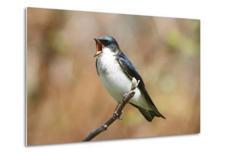 A Male Tree Swallow, Tachycineta Bicolor, Singing-George Grall-Metal Print