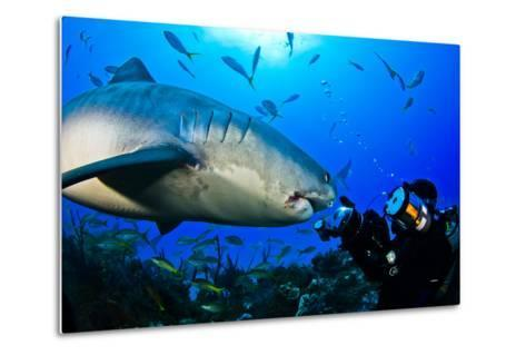A Tiger Shark Approaching a Diver on a Reef-Jim Abernethy-Metal Print