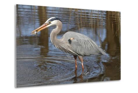 A Great Blue Heron, Ardea Herodias, Eating a Sunfish in a Marsh-George Grall-Metal Print
