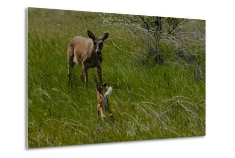 A White-Tail Deer Fawn Runs Towards its Mother-Michael Forsberg-Metal Print