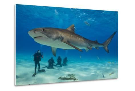 A Tiger Shark Swimming at the Sea Floor Near a Group of Divers-Jim Abernethy-Metal Print