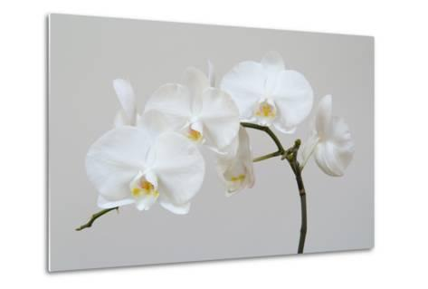 Moth Orchid (Phalaenopsis) Epiphyte--Metal Print