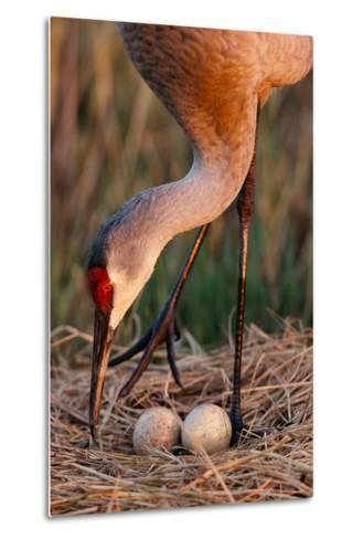 Close Up of a Sandhill Crane Tending to its Eggs-Michael Forsberg-Metal Print