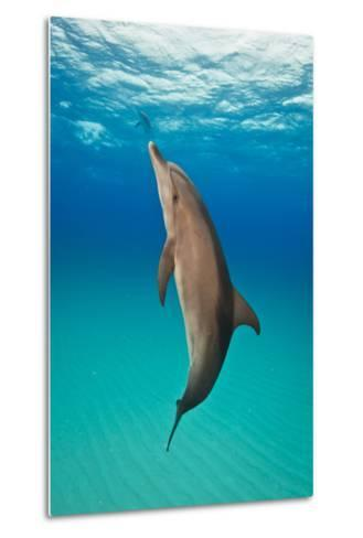 Portrait of an Atlantic Spotted Dolphin Swimming in Clear Blue Water-Jim Abernethy-Metal Print