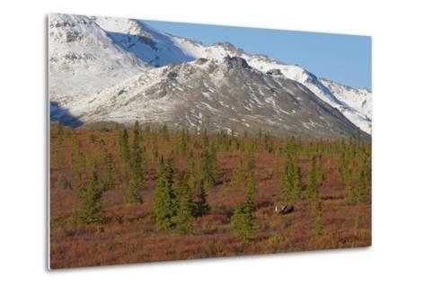 A Bull Moose, Alces Alces, Walks Through the Tundra of Denali National Park-Barrett Hedges-Metal Print