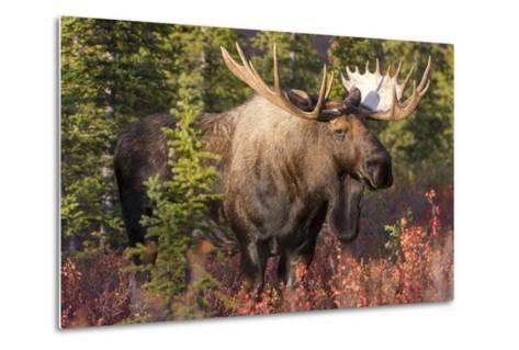 A Bull Moose, Alces Alces, Stands in the Sunlight in Denali National Park-Barrett Hedges-Metal Print