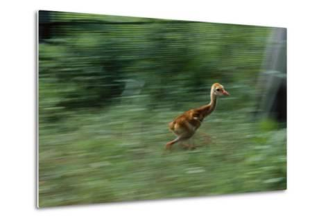Captive-Raised Sandhill Chick Runs in Protected Yard, Audubon Nature Center, New Orleans-Michael Forsberg-Metal Print