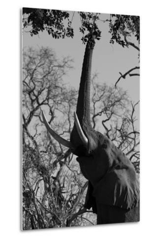 Elephant Stretching Trunk Up to Graze from a Tree in Northern Botswana-Beverly Joubert-Metal Print