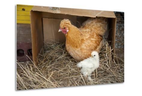 A Chicken and Her Chick Near Denton, Nebraska-Joel Sartore-Metal Print
