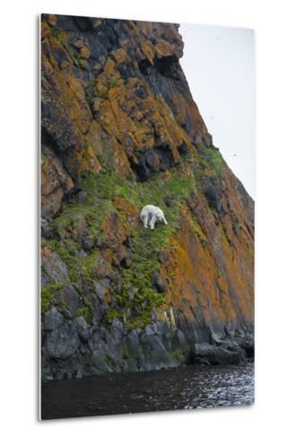 A Polar Bear Descends a Cliff on a Small Island in Search of Little Auks-Andy Mann-Metal Print
