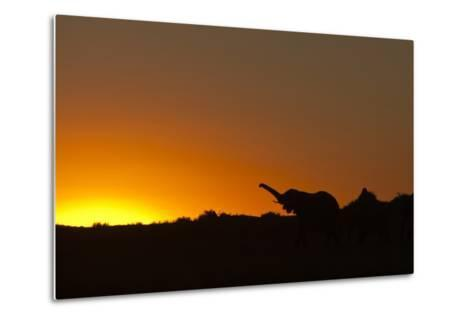 Elephant with Raised Trunk Silhouette in Sunset in Northern Botswana-Beverly Joubert-Metal Print
