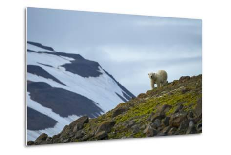 A Polar Bear on a Small Island on the Lookout for Little Auks-Andy Mann-Metal Print
