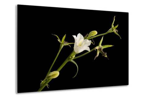 Peach-Leaf Bellflower, Campanula Persicifolia Alba-Joel Sartore-Metal Print