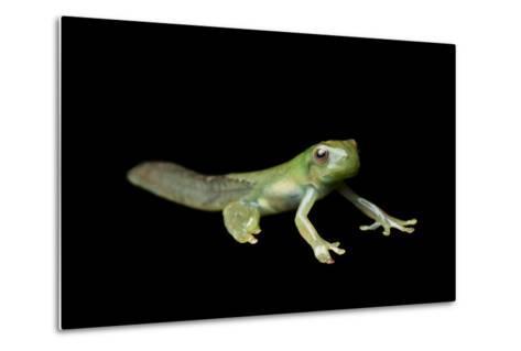 Metamorphosis of a Roque Treefrog, Hyloscirtus Phyllognathus-Joel Sartore-Metal Print