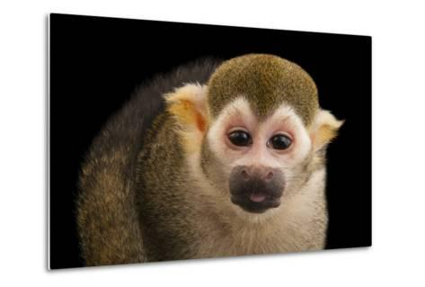 A Common Squirrel Monkey, Saimiri Sciureus, at the Lincoln Children's Zoo-Joel Sartore-Metal Print