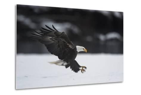 Portrait of a Bald Eagle, Haliaeetus Leucocephalus, Coming in for a Landing-Bob Smith-Metal Print