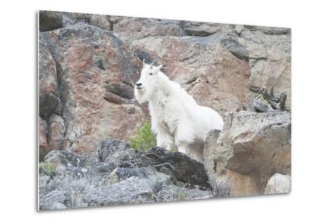 A Mountain Goat, Oreamnos Americanus, Stands on a Cliff-Barrett Hedges-Metal Print
