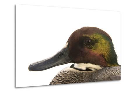 A Falcated Duck, Anas Falcata, at the Palm Beach Zoo-Joel Sartore-Metal Print
