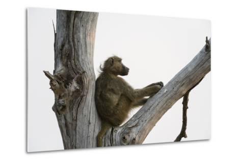 A Chacma Baboon, Papio Ursinus, Resting in a Dead Tree-Sergio Pitamitz-Metal Print