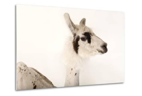 A Llama, Lama Glama, after a Recent Summer Haircut at the Lincoln Children's Zoo-Joel Sartore-Metal Print