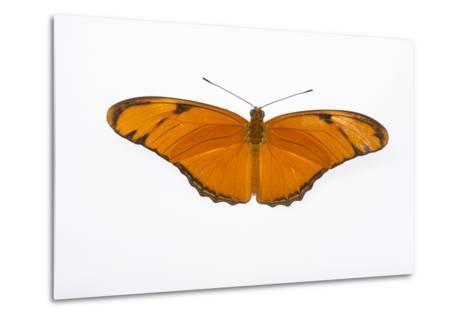 A Julia Butterfly, Dryas Iulia Largo, at the Minnesota Zoo-Joel Sartore-Metal Print