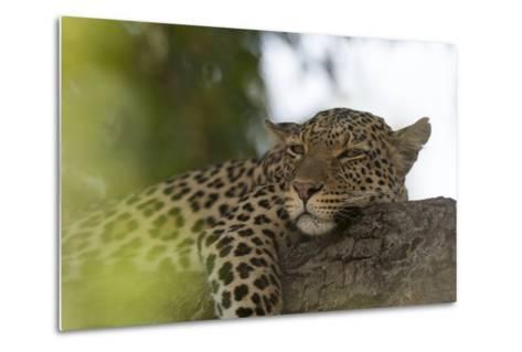 A Leopard, Panthera Pardus, Resting on a Tree Branch-Sergio Pitamitz-Metal Print