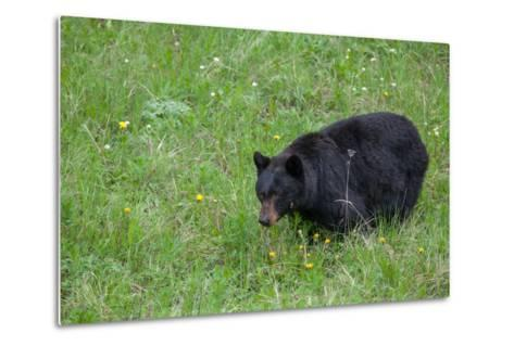A Bear Feeds in a Grass Meadow on Dandelions and Forbs-Tom Murphy-Metal Print