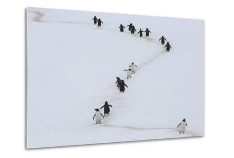 Gentoo Penguins Walk a Penguin Highway from Rookery to Sea, and Back, to Avoid Sinking into Snow-Kent Kobersteen-Metal Print