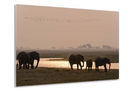 A Herd of African Elephants, Loxodonta Africana, Along the Banks of Chobe River at Sunset-Sergio Pitamitz-Metal Print