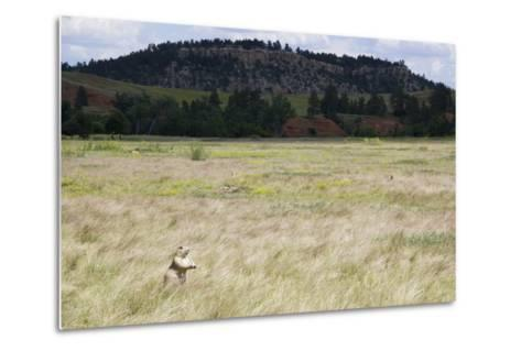 A Prairie Dog Stands Up in a Landscape of Prairie Grass-Stacy Gold-Metal Print