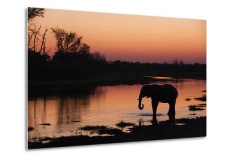 An African Elephant, Loxodonta Africana, Drinking in the Khwai River at Sunset-Sergio Pitamitz-Metal Print
