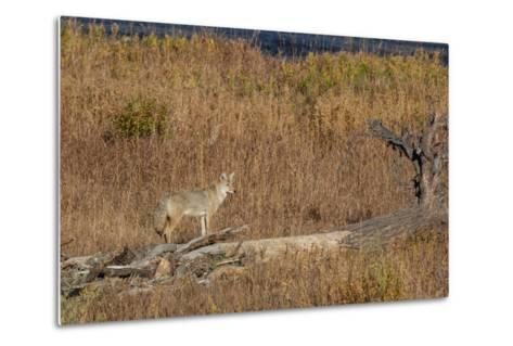 A Coyote Stands on a Fallen Tree-Tom Murphy-Metal Print