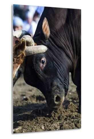 A Pair of Large Brahman Bull Heads Collide and Lock Horns During a Traditional Bull Fight-Jason Edwards-Metal Print