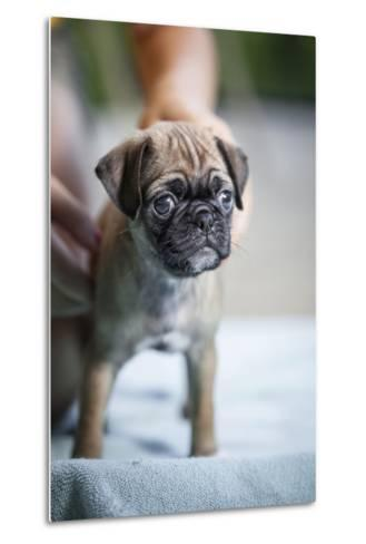 Close Up View of a Pug Puppy Standing on a Blue Towel-Hannele Lahti-Metal Print