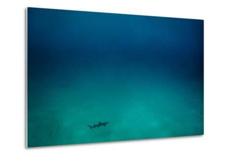 Cocos Island, Costa Rica: A White Tip Reef Shark Cruises the Sandy Bottom-Ben Horton-Metal Print