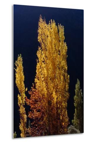 Golden Fall Colors of a Poplar Tree in the Alborz Mountains, Iran-Babak Tafreshi-Metal Print