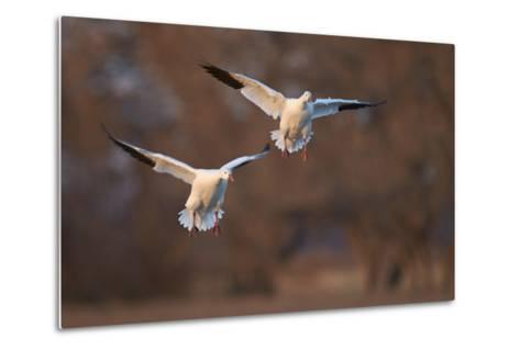 Two Snow Goose (Chen Caerulescens) Landing-James Hager-Metal Print
