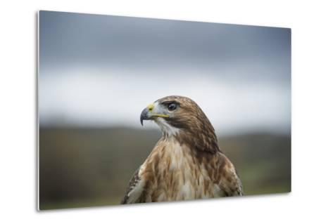 Red-Tailed Hawk (Buteo Jamaicensis), Bird of Prey, Herefordshire, England, United Kingdom-Janette Hill-Metal Print