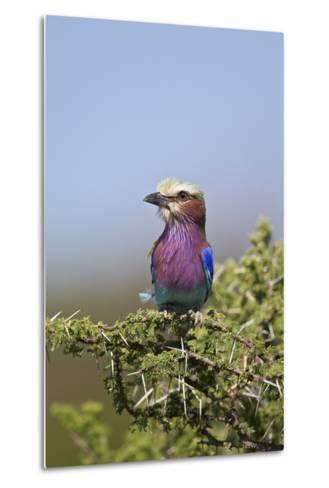 Lilac-Breasted Roller (Coracias Caudata)-James Hager-Metal Print