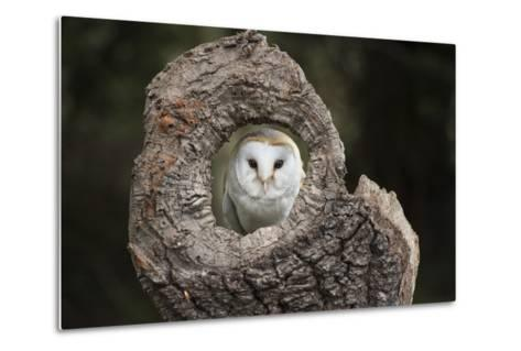 Barn Owl (Tyto Alba), Herefordshire, England, United Kingdom-Janette Hill-Metal Print