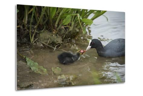 Coot (Fulica), Young Chick Feeding, Gloucestershire, England, United Kingdom-Janette Hill-Metal Print