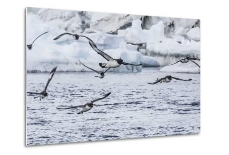 Adult Cape Petrels (Daption Capense) Feeding at Brown Bluff, Antarctica, Polar Regions-Michael Nolan-Metal Print