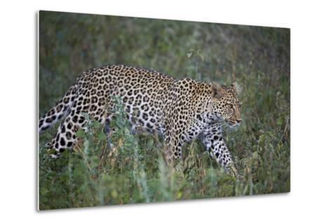 Leopard (Panthera Pardus), Ngorongoro Conservation Area, Serengeti, Tanzania, East Africa, Africa-James Hager-Metal Print