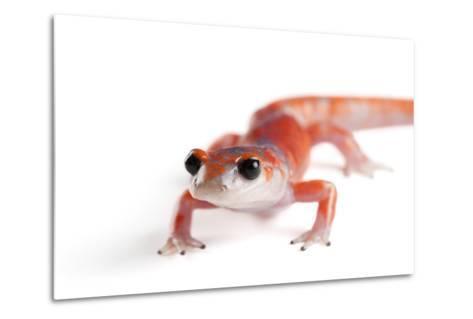 A Sierra Nevada Ensatina Salamander, Ensatina Eschscholtzi Platensis-Joel Sartore-Metal Print