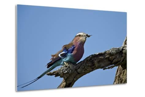 Lilac-Breasted Roller (Coracias Caudata) with an Insect-James Hager-Metal Print