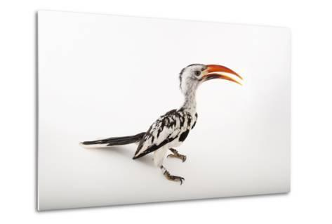 A Red-Billed Hornbill, Tockus Erythrorhynchus, at Omaha's Henry Doorly Zoo and Aquarium-Joel Sartore-Metal Print