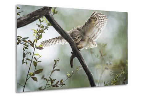Spotted Owlet (Athene Brama), Ranthambhore, Rajasthan, India-Janette Hill-Metal Print